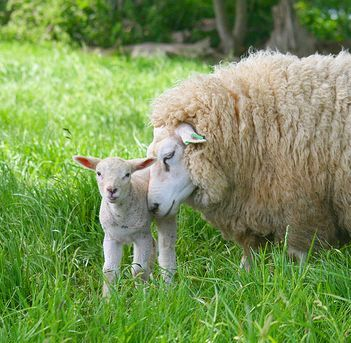 lamb_mother_and_baby.jpg